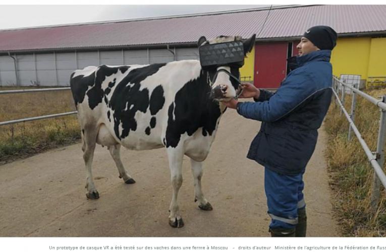 Vacas russas recebem fones de realidade virtual para reduzir a ansiedade e melhorar o humor